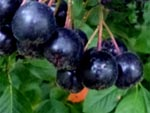 black chokeberries