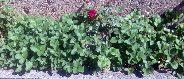 how-to-grow-roses-and-strawberries-together