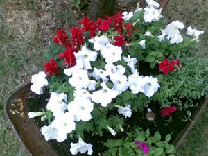 wheelbarrow with white petunia