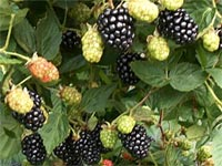 blackberries-1