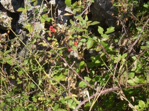 wild-blackberries-1