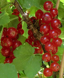 Health Benefits of Blackcurrants and Redcurrants