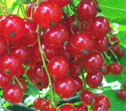 red currants small 1
