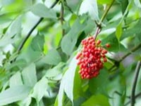 red-elderberries-1