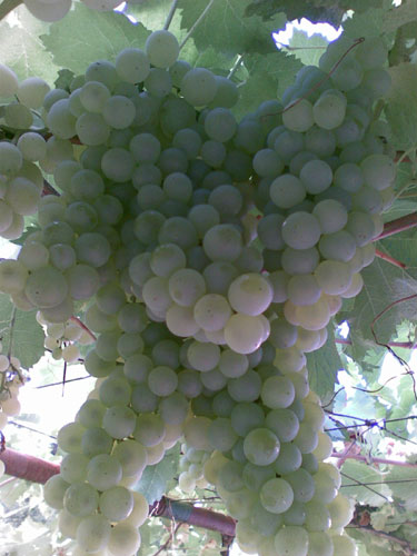 growing grapevines 1