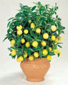 dwarf-lemon-tree-1m