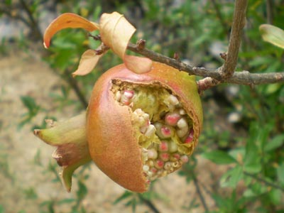 Pomegranate - How to Grow a Pomegranate Tree | Pomegranate