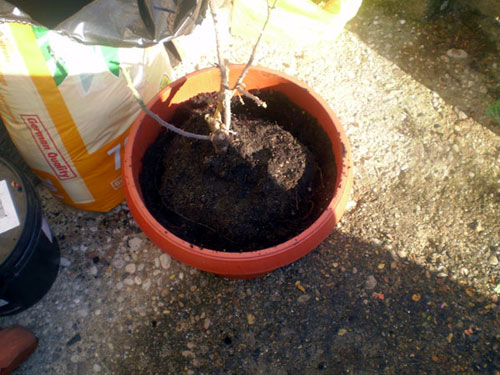replanting dormant rose plant
