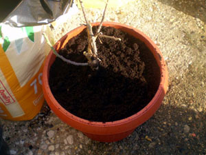 replanting-dormant-rose-plant-4