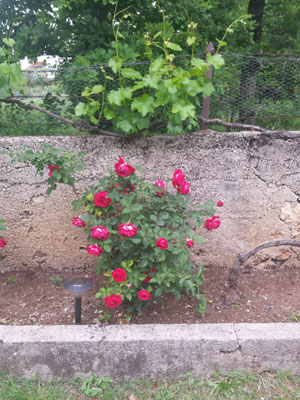roses grape vines together 3
