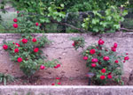 roses grape vines together m
