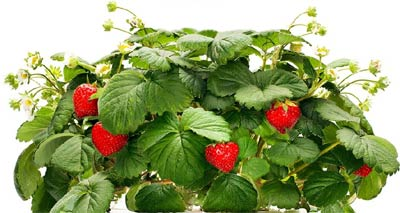 grow-strawberries-indoors-1