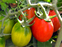 roma-tomatoes-1