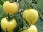 tomato types and varieties