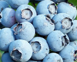 blueberries-in-containers-1
