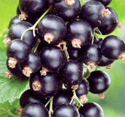 black currants small 1