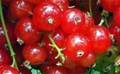 red currants cultivars m