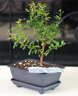 bonsai pomegranate tree