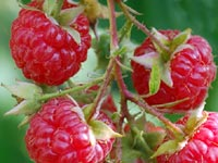 how-to-grow-raspberries-2