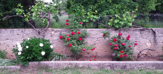 roses grape vines together 1