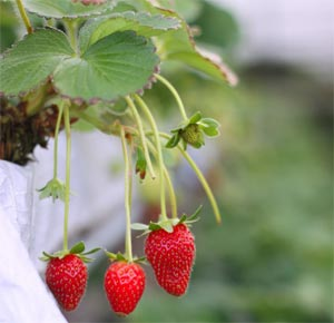 hanging strawberries w300px