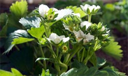 strawberry-early-spring-flowers-1